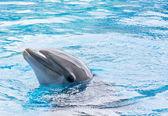 Dolphin in Captivity — Stock Photo