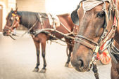 Harnessed Horses in urban Context — Stock Photo
