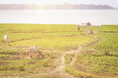 Agriculture and cultivated land in Myanmar - Mandalay Region — Stock Photo