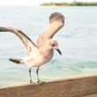 Seagull landing on a wooden fence at Key West pier - Miami Flori — Stock Photo