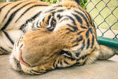 Sad tiger in a zoo cage - Animal abuse — Stock Photo
