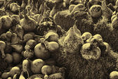 Birdhouse Gourds Drying in the Sun Sepia Toned — Stock Photo