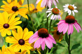 Black Eyed Susan and Pink Coneflower Daisies — Stock Photo