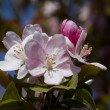 Stock Photo: Spring Pink Blooming Crabapple Flowers - Malus