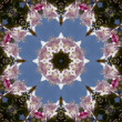 Stock Photo: Spring Blooming Pink Flowering Crabapple Kaleidoscope - Malus