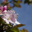 Spring Blooming Pink Flowering Crabapple Background - Malus — Stock Photo