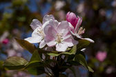 Spring Pink Flowering Crabapple Blooms - Malus — Stock Photo