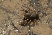 Alabama Crayfish Crustaceans - Cambarellus Diminutu — Stock Photo