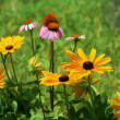 Golden Black Eyed Susan and Pink Coneflower Perennials — Stock Photo