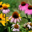 Golden Black Eyed Susand Pink Coneflower Garden — Stock Photo #32284109