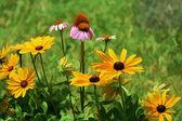 Golden Black Eyed Susan and Pink Coneflower Perennials — Stock Photo