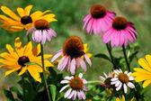 Golden Black Eyed Susan and Pink Coneflower Garden — Stock Photo