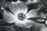 Cornus florida Red Dogwood Blossom in Black and White — Stock Photo