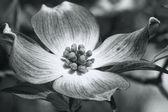Cornus florida Red Dogwood Blossom in Black and White — Stock Photo