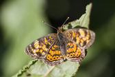 Brushfooted Butterfly - Pearl Cresent Phyciodes tharos — Stock Photo