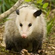 Pretty Possum - Opossum Didelphia virginiana — Stock Photo