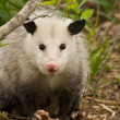 Beady Eyed Possum - Opossum Didelphia virginiana — Stock Photo