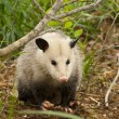 Alabama Possum - Opossum Didelphia virginiana — Stock Photo