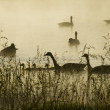 Canadian Geese Dawn Silhouette — Stock Photo