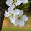 White Bing Cherry Blossom Background - Prunus avium — Stock Photo