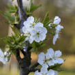 White Bing Cherry Blossoms - Prunus avium — Stock Photo