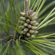 Ponderosa Pine Tree - Pinus - New Growth — Stock Photo