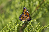 Monarch Butterfly - Danaus plexippus On Juniper 3 — Stock Photo