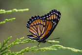 Monarch Butterfly - Danaus plexippus On Juniper 2 — Stock Photo