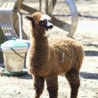 Peruvian Baby Alpaca 4 - Vicugna pacos — Stock Photo
