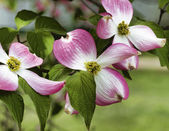 Pink Dogwood Blossoms - Cornus florida Rubra — Stock Photo