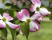 Pink Dogwood Blossoms - Cornus florida Rubra — Stock Photo