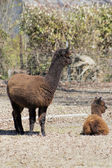 Mother and Baby Peruvian Alpacas 3  - Vicugna pacos — Stock Photo