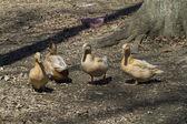 Buff Orpington Ducks — Stock Photo