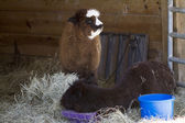 Mother and Baby Peruvian Alpacas  - Vicugna pacos — Stock Photo