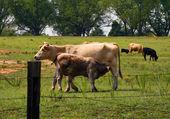 Matka wołowiny i cielęciny w pastwiska 2 — Zdjęcie stockowe