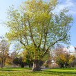 Maple tree — Stock Photo #38024599