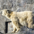 Polar bear - Ursus maritimus — Stock Photo #38459129