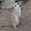 Meerkat - Suricata suricatta — Stock Photo #38459327
