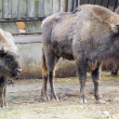Stock Photo: Wisent - Europebison (Bison bonasus)
