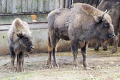 Wisent - European bison (Bison bonasus) — Stock Photo