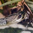 Stock Photo: Rattlesnake - Crotalus