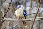 Blue-winged Kookaburra - Dacelo leachii — Stock Photo