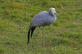 Blue Crane (Anthropoides paradiseus) — 图库照片