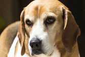 Closeup of a beagle — Stockfoto