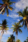 Coconut palmbomen in de buurt van de zee — Stockfoto
