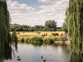 Cows grazing by the river in England — Stock Photo