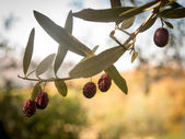 Ripening olives on the branch — Stok fotoğraf