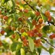 Wild apple-tree — Stock Photo