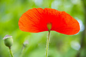 Red poppie — Stock Photo