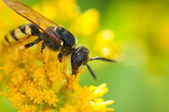 Wasp on the flower — Stock Photo